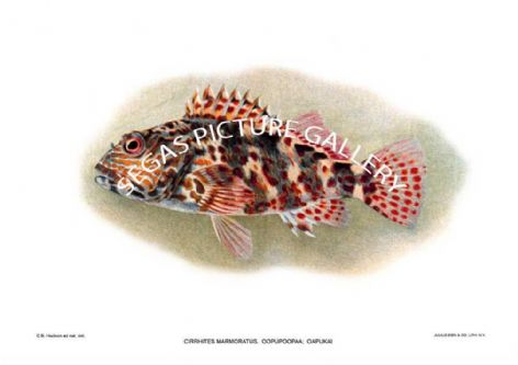 Fine art print of the Cirrhites Marmoratus Oopupoopaa Oapukai by August Hoen (1907) reproduced by Segas Picture Gallery.